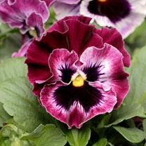 Pansy Seeds - F1 Frizzle Sizzle Raspberry