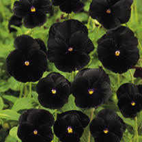 A real novelty item. As the name suggests, the blooms produced are a stunning clear black and are produced on compact little plants. HB/HP Hardy bienn