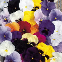 A beautiful large-flowered mixture, in a range of dazzling shades, many with distinctive dark faces. Summer-long colour in pots and borders. F1 Hybrid