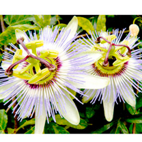 Passion Flower Seeds - caerulea