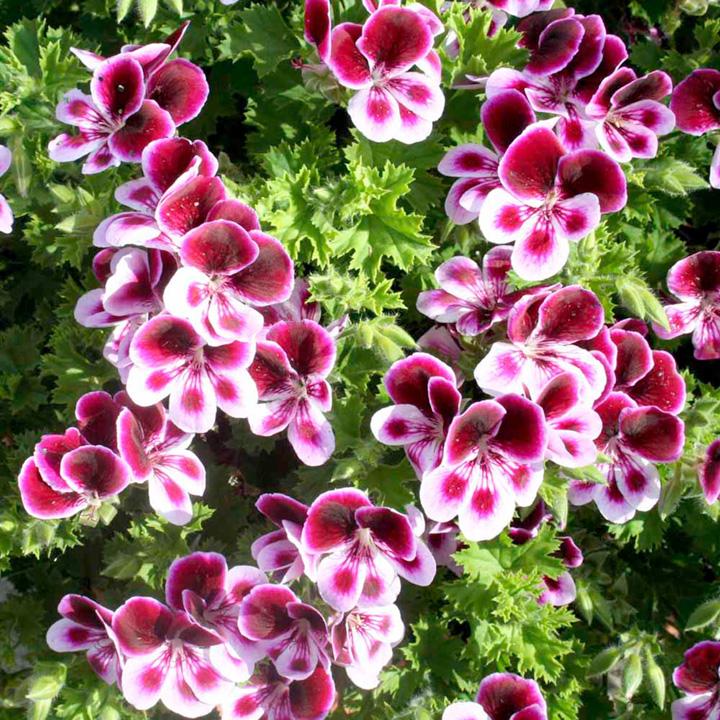 Pelargonium Plants - Angels Perfume
