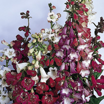Spikes of attractive, bell-shaped blooms in a super mixture of colours. Spectacular, trumpet-like blooms in summer. Very attractive border plants. HP/