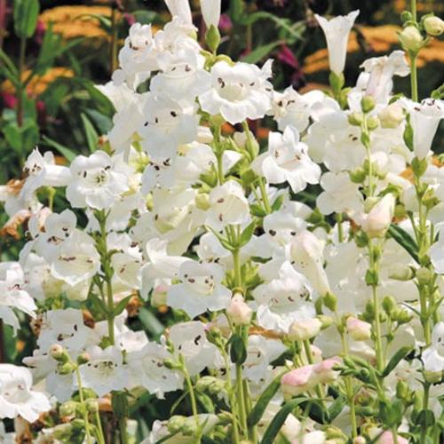 Penstemon Plant - Snowstorm