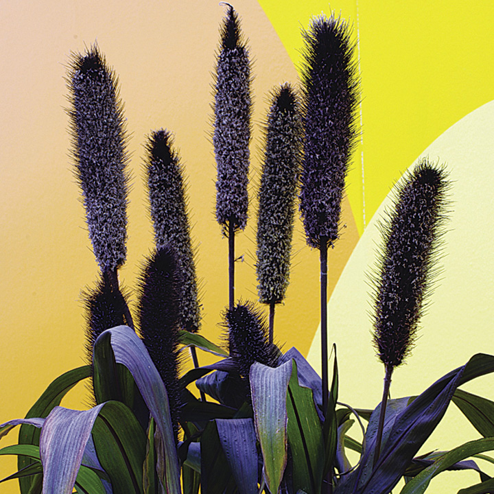 Millet Ornamental Seeds - Purple Baron