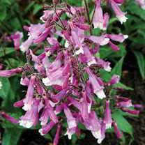 Penstemon Plant - Prairie Twilight