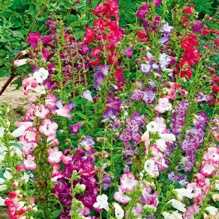 Penstemon Cobaea Plants - Wedding Bells