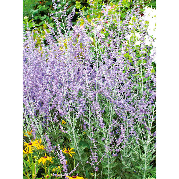 Perovskia Seeds - Taiga