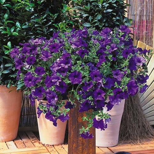 Surfinia Plant - Large-flowered Deep Blue