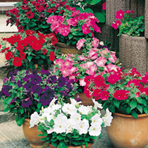 Masses of large flowers, in a smashing range of colours, will brighten up your patio containers and flower beds throughout the summer. HHA Half hardy