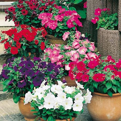 Petunia Seeds- F1 Super Hybrid Mix (Multiflora)