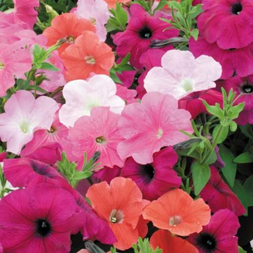 Petunia Plants - Trailing Collection