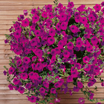 Will cascade from hanging baskets and window boxes like a waterfall of dazzling rose/purple flowers. With blooms produced all along the trailing stems