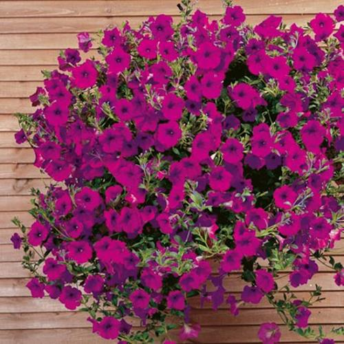 Petunia SupaSeeds - F1 Purple Wave