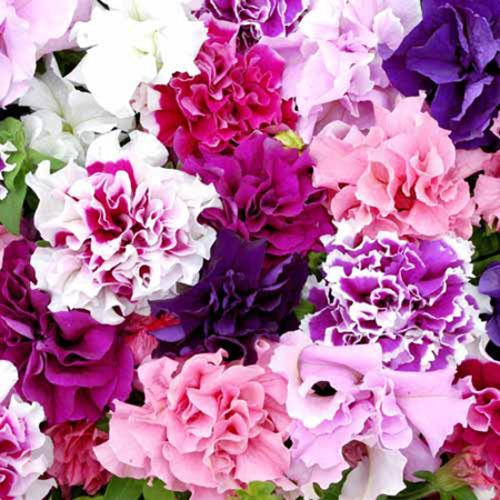 Petunia Plants -  F1 Duo Double Mix