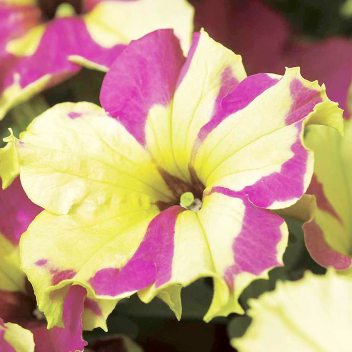 how to grow petunia trees from seed