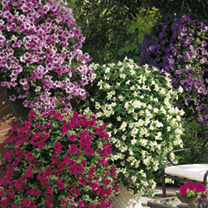 Petunia Surfinia Plants - Larger Flowered Mix