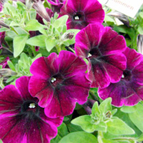Petunia Plants - Johnny Flame