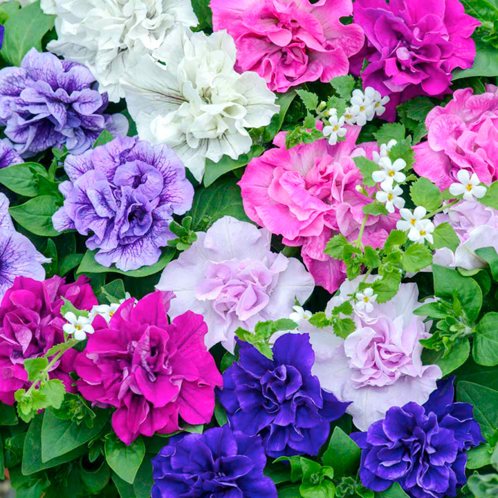 Hanging Basket - Petunia Tumbelina Fragrant Mix