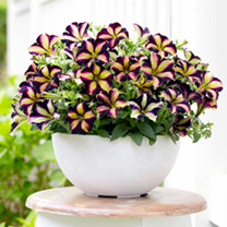 Petunia Plants - Crazytunia Pulse