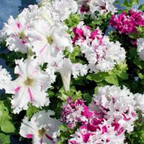 Petunia Seeds - Fimbriata Jaromer