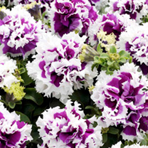 Petunia Seeds - F1 Pirouette Purple