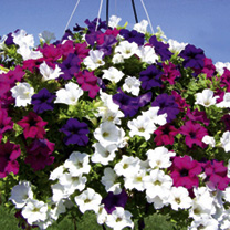 Petunia Plants - Surfinia Large Flowered Mixed