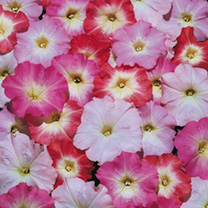 Petunia Seeds - Celebrity Morn Mix