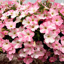 Petunia Plants - Classic Baby Pink White