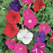 Compact plants flowering freely in bright 'showy colours. HHA Half hardy annual. Height 30cm (12). NB: PETUNIA FLOWER COLOUR VARIATION Environmental f