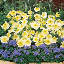 Fleuroselect and All American award winner. Appreciate its large, prominently veined, fade resistant blooms in your baskets, tubs and borders. HHA Hal
