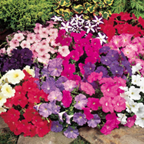 Aptly named, this petunia has a very dwarf spreading habit. The medium-sized flowers, produced in profusion, show good resistance to bad weather. In s
