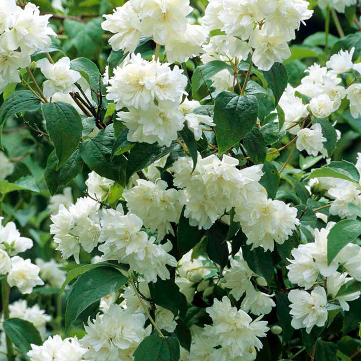 Philadelphus Plants - 'Virginal'