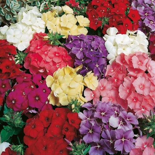 Phlox drummondii Seeds - Delight Mix