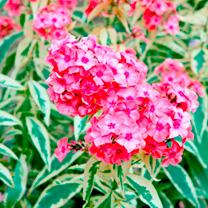Phlox Plant - paniculata Becky Towe