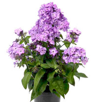 Phlox Plant - Flame Violet