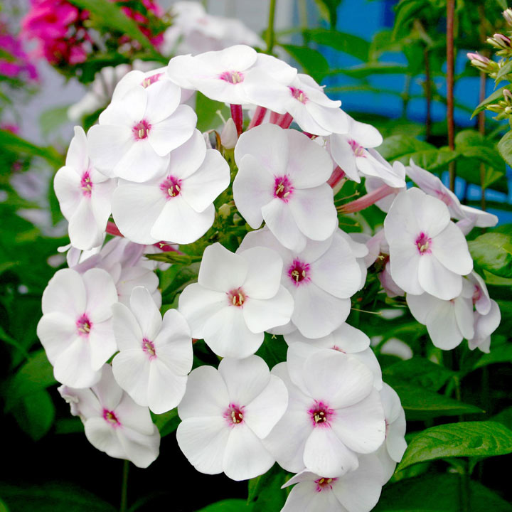 Phlox Plant - Flame White Eye