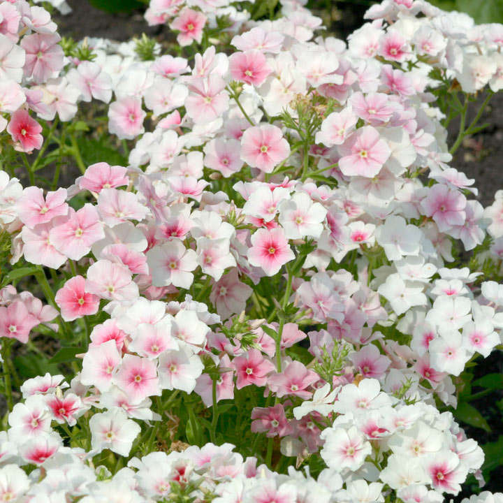 phlox blushing bride flowers to sow in february when to sow flowers flower seeds gardening. Black Bedroom Furniture Sets. Home Design Ideas