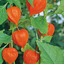 Bright orange, papery, lantern-shaped calyces, several to each long stem. Much in demand for winter arrangements. Exotic-looking flowers. Flowers July