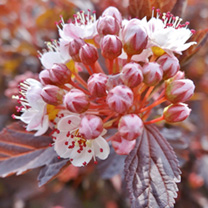 A deciduous shrub boasting brilliant chestnut-red to wine-red foliage which forms a beautiful backdrop to clusters of small cup-shaped white to pale p