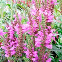 Physostegia Plant - Vivid