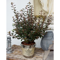 Physocarpus opulif. Plant - Little Joker®