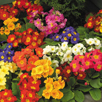 Spring Bedding Plants - Collection