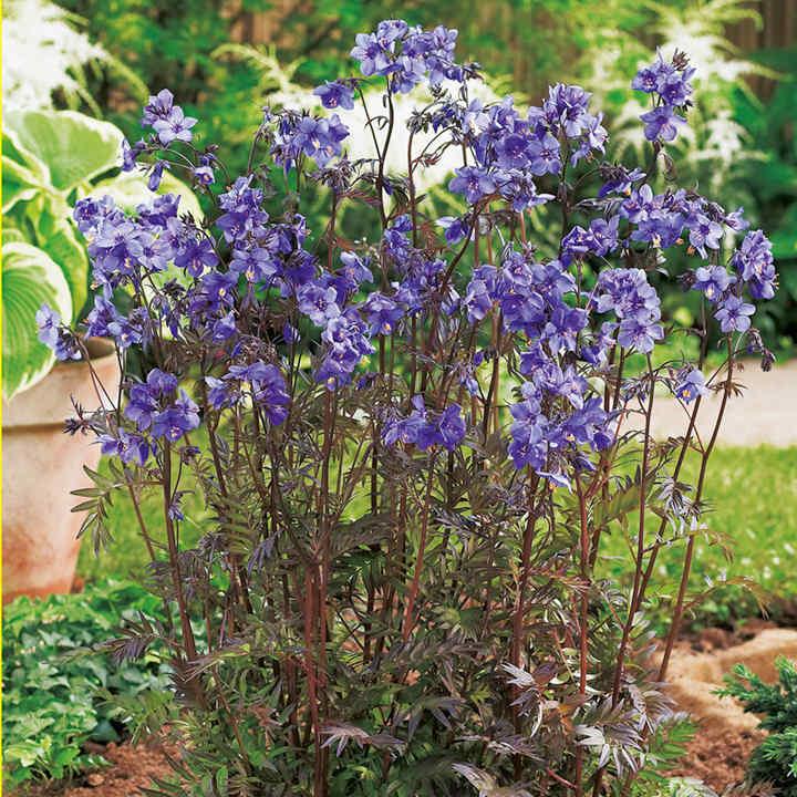 Polemonium Plant - Purple Rain Strain