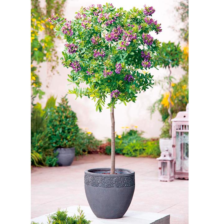 Polygala myrtifolia Plant - Mini Standard