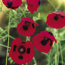 A distinctive low-growing poppy in a bright fire-engine red with a conspicuous black spot on each petal. Ideal as a rock garden or alpine plant as wel