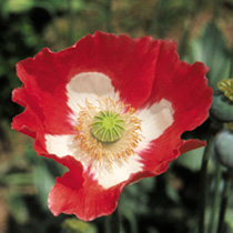 Large, fiery red flowers with a white cross and attractive gold stamens. Very attractive to bees and other beneficial insects. Try poppy seeds sprinkl