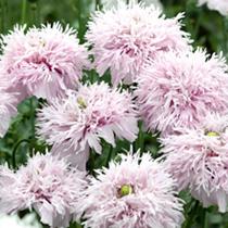 Poppy Seeds - Lilac Pompom