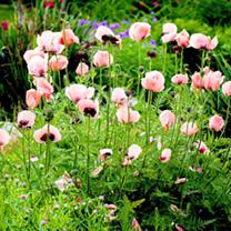 Poppy oriental Plant - Victoria Louise