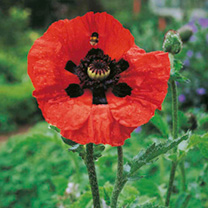 Poppy Plants - Beauty of Livermere