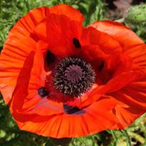 Poppy Plants - Brilliant